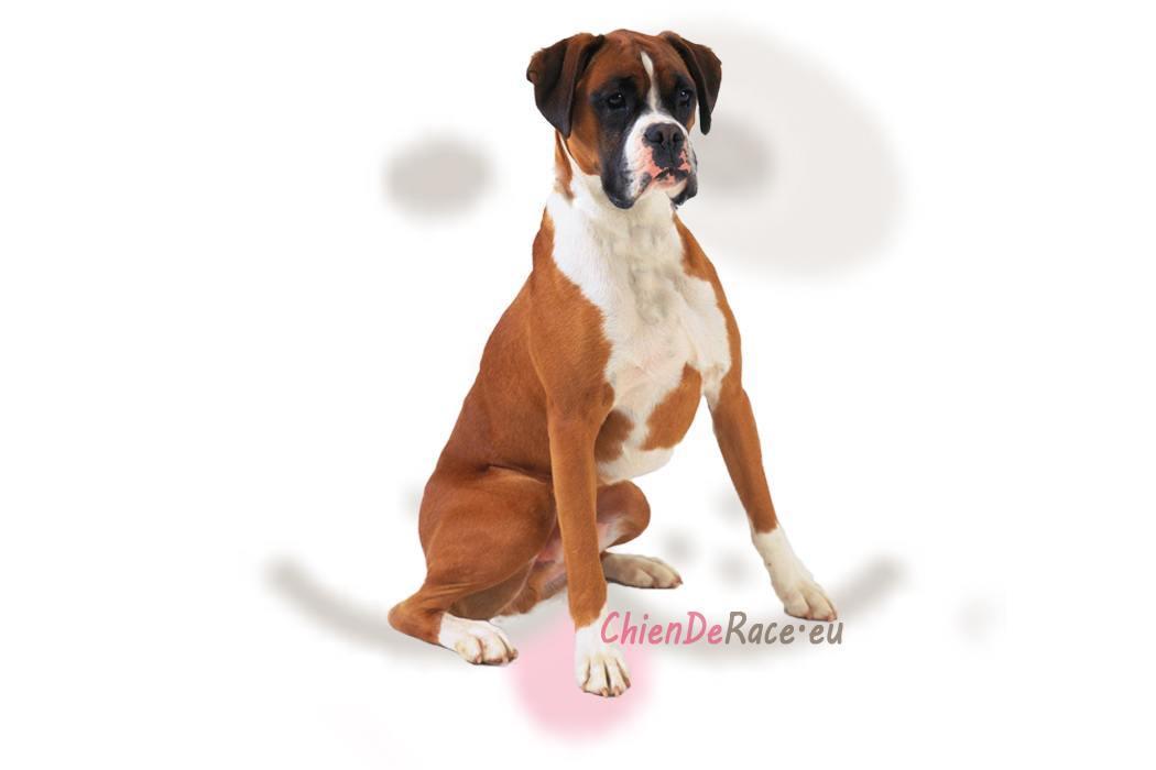 boxer origine caract re qualit s d fauts de ce chien. Black Bedroom Furniture Sets. Home Design Ideas