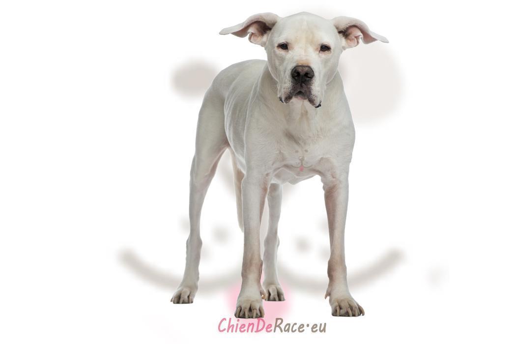 le dogue argentin caract re qualit s d fauts de ce chien. Black Bedroom Furniture Sets. Home Design Ideas