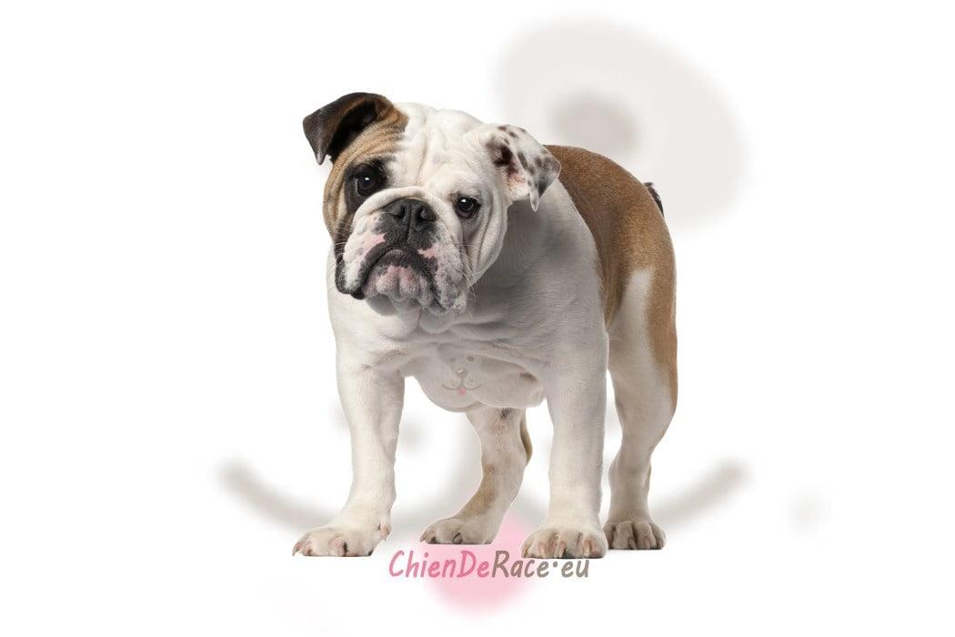 le bulldog anglais   caract u00e8re  qualit u00e9s  u0026 d u00e9fauts de ce chien