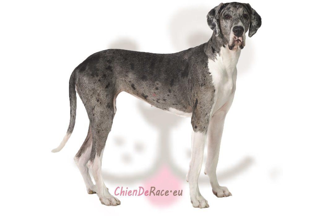 Dogue Allemand : caractère, qualités & défauts de ce chien