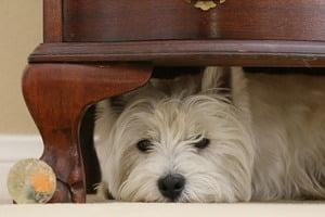 Chien cache cache dans maison