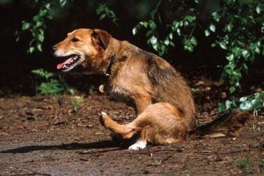 Soigner les glandes anales du chien