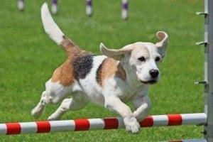 Chiot éducation agility