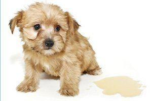 Chiot incontinence