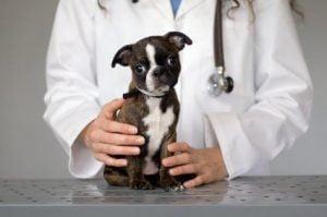 Chiot castrer vétérinaire