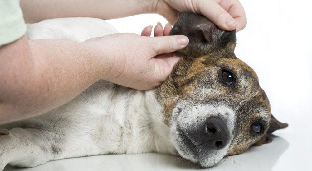 nettoyer les oreilles de votre chien chien de race. Black Bedroom Furniture Sets. Home Design Ideas