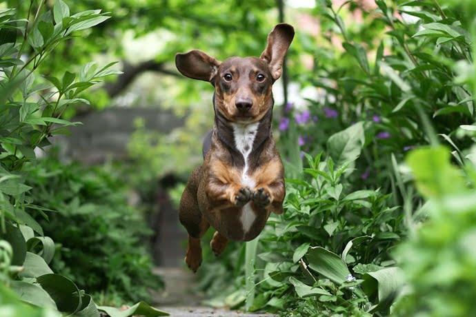 chien phytotherapie