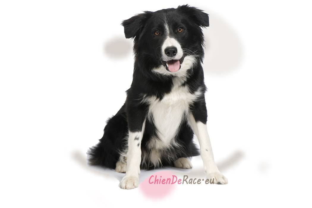 le border collie   origine  caract u00e8re  qualit u00e9s  u0026 d u00e9fauts