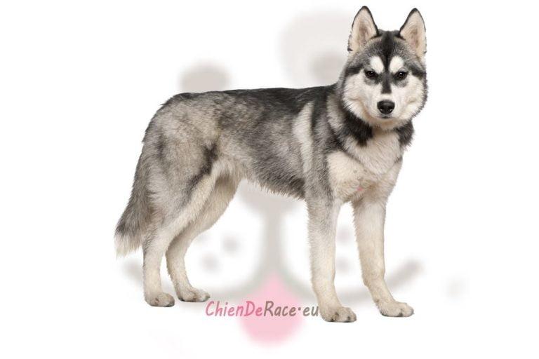 Husky de Siberie