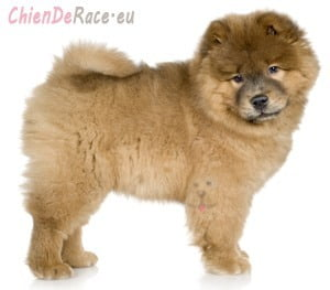 Chow-chow chiot