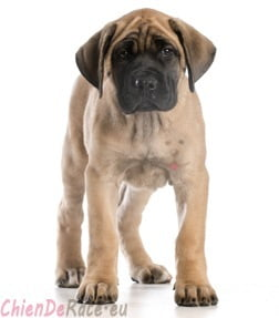 chiot mastiff english