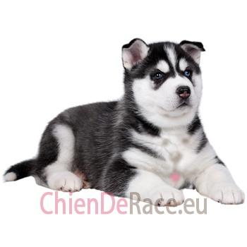 husky siberien chiot