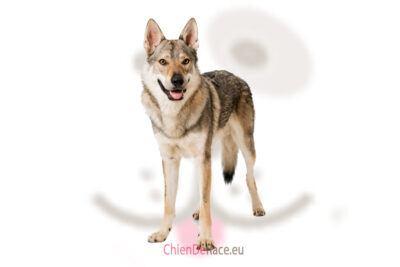chien loup tchecoslovaque