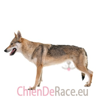 chien loup tchecoslovaque puppy