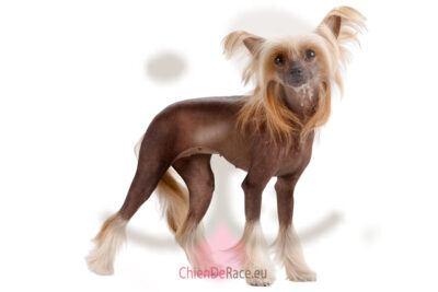 chien chinois à crête